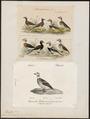 Harelda glacialis - 1700-1880 - Print - Iconographia Zoologica - Special Collections University of Amsterdam - UBA01 IZ17700089.tif