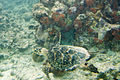 Hawksbill turtle Eretmochelys imbriocota (2408522320).jpg