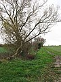 Hedge growing beside ditch west of Starston - geograph.org.uk - 1593373.jpg