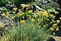 Helichrysum italicum 1.jpg