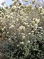 Helichrysum petiolare 2c.JPG