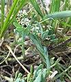 Heliotropium curassavicum var curassavicum.jpg