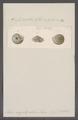 Helix cryptopila - - Print - Iconographia Zoologica - Special Collections University of Amsterdam - UBAINV0274 089 01 0067.tif