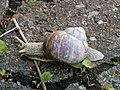 Helix pomatia (14140277104).jpg