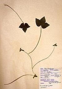 Hepatica acutiloba BW-1966-0430-0893.jpg