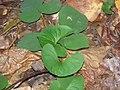 Hepatica nobilis acuta 0zz.jpg