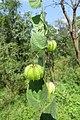 Herissantia crispa - Bladder Mallow at Theni (5).jpg