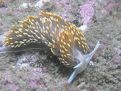 Hermissenda nudibranch, about 2 inches long.jpg