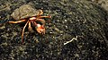 Hermit crabs - Retriever Seamount.jpg