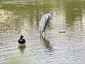 Heron and tufted duck (14378816505).jpg