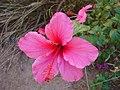 Hibiscus-rosa-sinensis-20080401.JPG