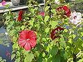 Hibiscus moscheutos8.jpg