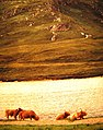 Highland cows on the shore of Loch Hope - geograph.org.uk - 594765.jpg