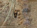 Himalayan Buzzard (Buteo refectus) (33692476424).jpg