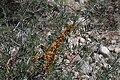 Hippophae rhamnoides (Elaeagnaceae) (33219344042).jpg