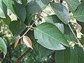 Hiptage benghalensis at Gudalur (7).jpg