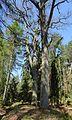 Hirschgehege im Forst Rundshorn-Fuhrberg 02.jpg