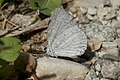 Holarctic Azure (Celastrina sp.) - Guelph, Ontario 2015-08-28.jpg