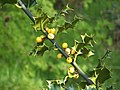 Holly with yellow berries - geograph.org.uk - 1073755.jpg