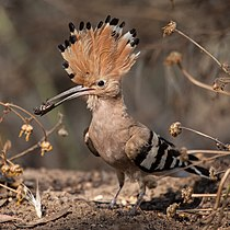 Hoopoe with insect