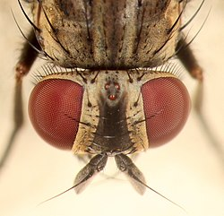 House Fly Eye Closeup (cropped).jpg