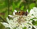 Hoverfly (20980213015).jpg