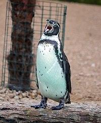 Humboldt Penguin (Spheniscus humboldti) (Mouth open) (CWPG).jpg