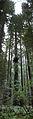 Humboldt Redwoods vertical pano.jpg