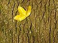 Humboldthain Felsen-Ahorn TP11292.jpg