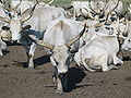 Hungarian Grey Cattle2.jpg