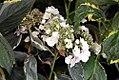 Hydrangea macrophylla Lemon Wave 1zz.jpg