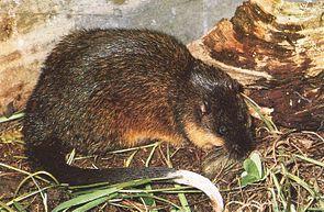 Goldbauch-Schwimmratte (Hydromys chrysogaster)