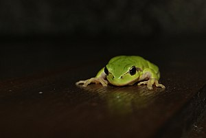 Hyla intermedium in repose on a varnished wooden shutter.