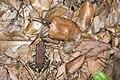 Hylarana latouchii (43513179752).jpg