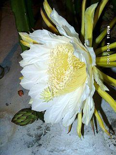<i>Hylocereus costaricensis</i> species of plant