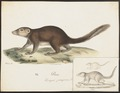 Hylogale ferruginea - 1700-1880 - Print - Iconographia Zoologica - Special Collections University of Amsterdam - UBA01 IZ20900043.tif