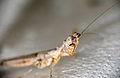 Hymenopodid Mantis (Oxypiloidea sp.) (17113783728).jpg
