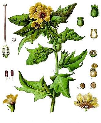 Hyoscyamus niger - Hyoscyamus niger in Köhler's Medicinal Plants, 1887