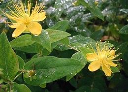Hypericum-hircinum-flowers