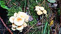 Hypholoma fasciculare 99701195.jpg