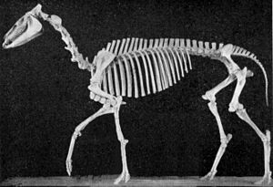 Hypohippus - Hypohippus osborni skeleton
