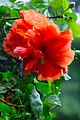 IMG 7784 ชบา (Hibiscus) Photographed by Peak Hora.jpg