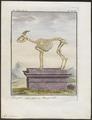 Ibex alpinus - skelet - 1700-1880 - Print - Iconographia Zoologica - Special Collections University of Amsterdam - UBA01 IZ21300161.tif