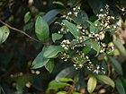 Ichnocarpus frutescens (8287205802).jpg