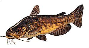 Ameiurus - Ameiurus nebulosus