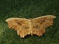 Idaea emarginata - Small scallop - Малая пяденица выемчатая (39163971480).jpg