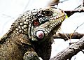 Iguanas..jpg