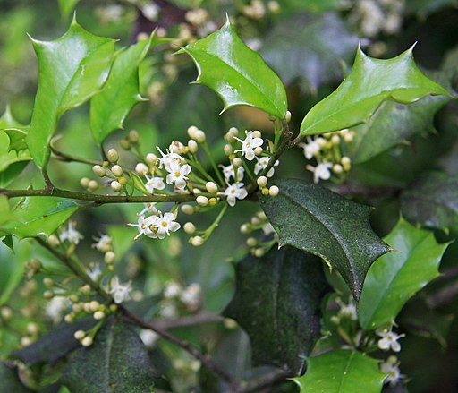 Ilex opaca American holly flowers