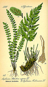 Illustration Asplenium trichomanes0.jpg