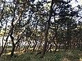 Imazu Pine Grove 9.jpg